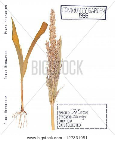 Herbarium of pressed parts of corn plant. Leaves stem root and inflorescence of corn isolated on white