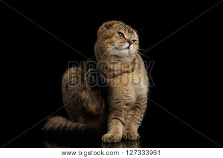 Scottish fold Cat Sitting on Mirror and scratching behind his ear Isolated on Black Background
