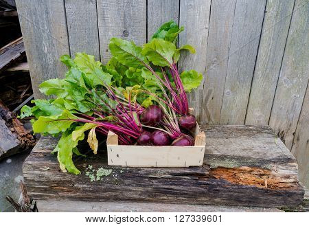 Fresh beets from the garden, in a wooden box.
