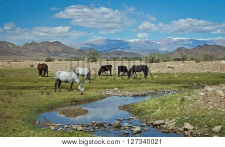 Wild horses grazing near a small stream in Mongolia.