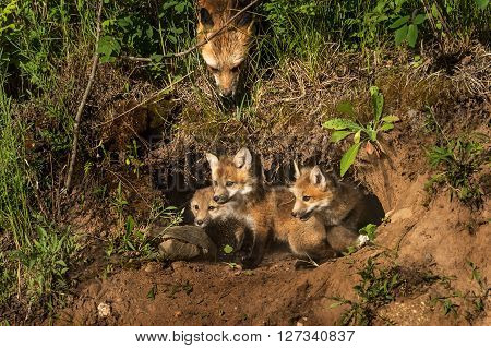 Red Fox Kits in Den (Vulpes vulpes) Mother Watching from Above - captive animals