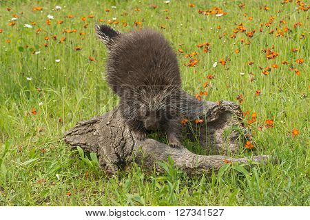 Porcupine (Erethizon dorsatum) Climbs Down Log - captive animal