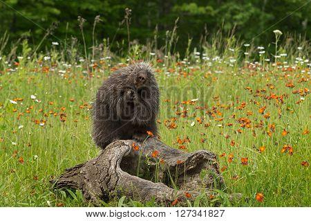 Porcupine (Erethizon dorsatum) Poses on Log - captive animal