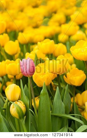 Standing out from crowd individuality leadership uniqueness think different and difference concept. One pink tulip among many yellow tulips