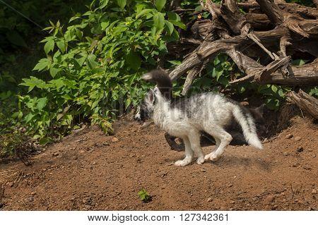 Marble Fox (Vulpes vulpes) Runs Left with Silver Fox Behind - captive animals