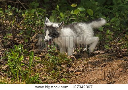 Marble Fox (Vulpes vulpes) Frolics - captive animal