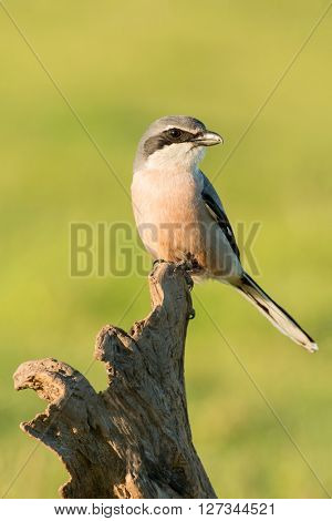 Small bird with mask perched on the branch of a tree