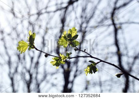 Branch with green leaf, Young leaf on a tree, Small green leaf, fresh green leaf on tree branch, spring tree branch, plumeria tree in rain season, new life start, start of spring, blooming garden