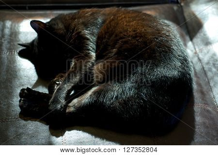 Havana Brown Cat Curled Up Sleeping In Sunshine