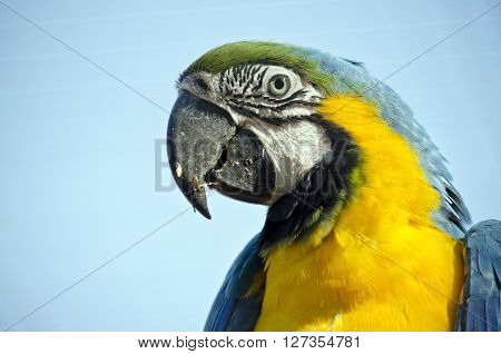 this is a close up of a blue and gold macaw ** Note: Visible grain at 100%, best at smaller sizes