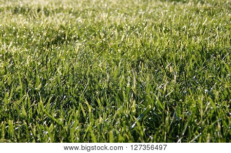 Spring dew on green grass texture background stock photo