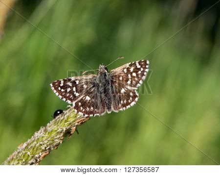 The Pyrgus armoricanus flew across the field.