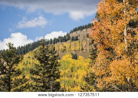 Golden Aspen Forest in the San Juan Mountains in Colorado