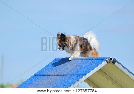 Papillon Climbing an A-Frame at a Dog Agility Trial