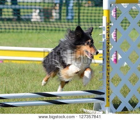 Tricolor Shetland Sheepdog (Sheltie) Leaping Over a Jump at Dog Agility Trial