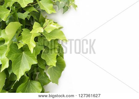 Isolated green ivy growing alongside a building