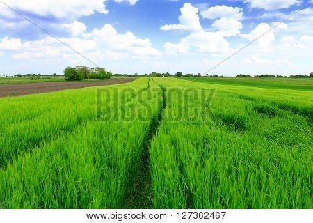 Beautiful spring landscape: Green field of rye