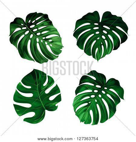 set of leaves monstera
