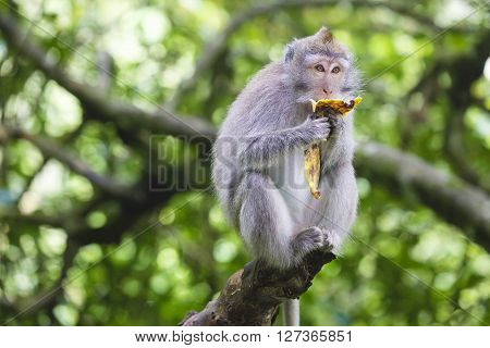 Portrait of monkey eating banana in monkey forest, Bali