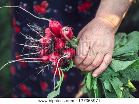 Bunch of radishes in grandmother's hand.  Organic vegetables. Healthy food.