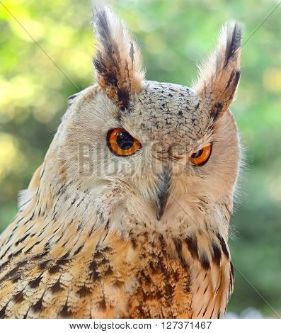 Eurasian Eagle-Owl Bubo bubo Bird Close up