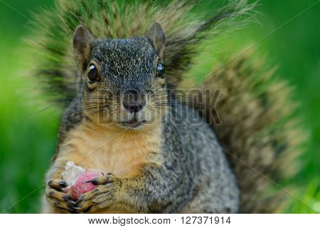 Closeup of squirrel eating a radish while sitting on the ground. Bright eyes bushy tail funny relaxed