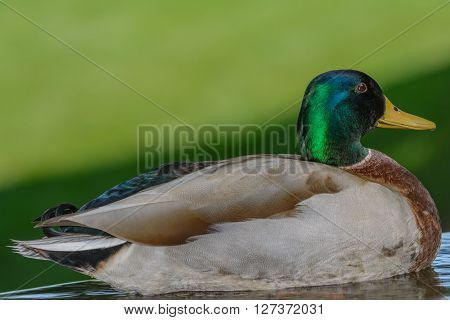 Green mallard floating in calm pond trying to take nap