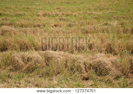 rice field landscape in nature country Thailand