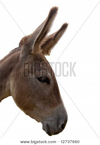 Sad Donkey Headshot Isolated
