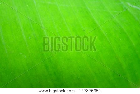 the banana leaf texture abstract nature background