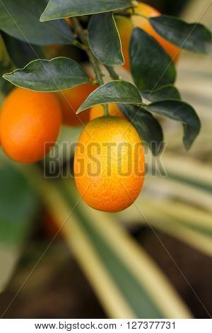Orange Kumquat Fruit On The Tree