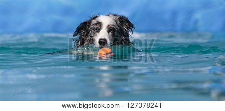 Australian border collie swims with a toy in a pool in summer.