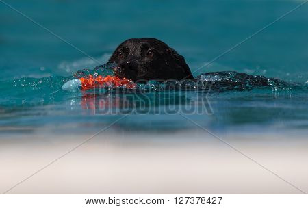 Black Labrador retriever swims with a toy in a pool in summer.