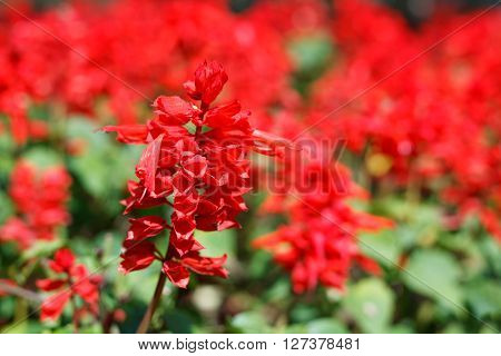 Close-up Red Salvia (salvia Splendens)