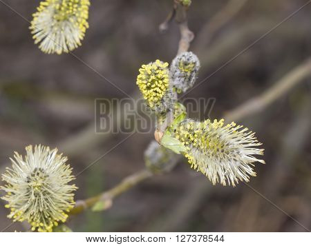 Branch of blossoming willow with catkins on bokeh background selective focus shallow DOF