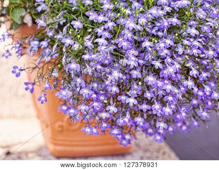 Summer flower lobelia erinus ( veronica) in a orange pot outdoors