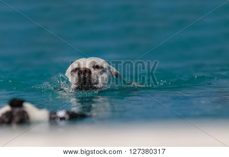 Yellow Labrador retriever swims with a toy in a pool in summer.