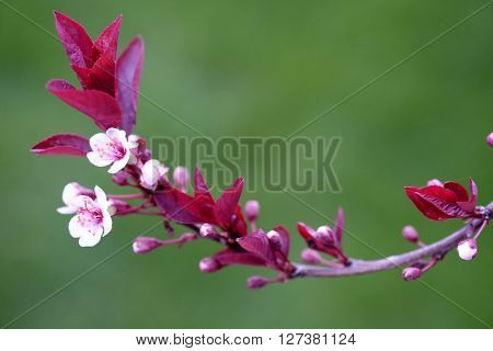 Twig in Spring with Pink blossoms and Green Leaves and new growth