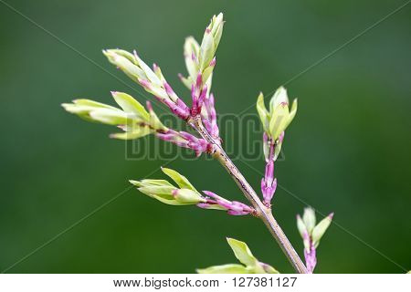 Twig in Spring with Pink and Green Leaves and new growth