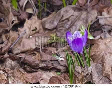 Blooming purple crocus grows in dry leaves macro selective focus shallow DOF