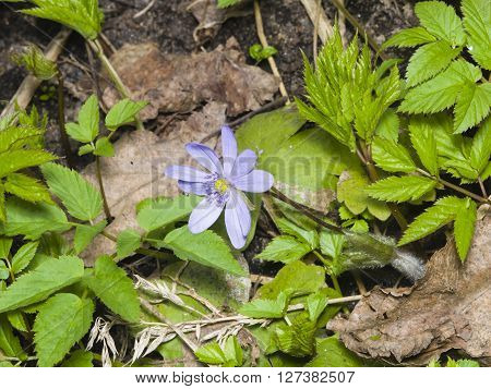Hepatica nobilis liverleaf or liverwort blooming in dry leaves and spring weed macro selective focus shallow DOF