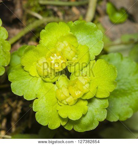 Blooming Golden Saxifrage Chrysosplenium alternifolium with bokeh background soft edges shallow DOF