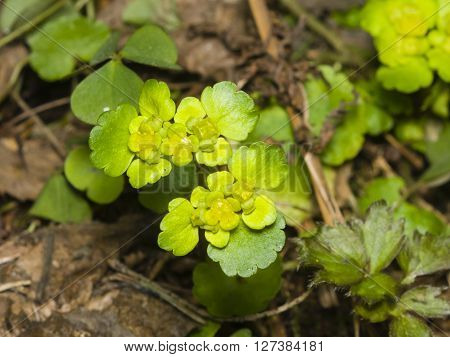 Blooming Golden Saxifrage Chrysosplenium alternifolium with bokeh background, soft edges, shallow DOF