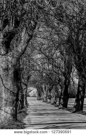 Asphalt Road And Tree Alley