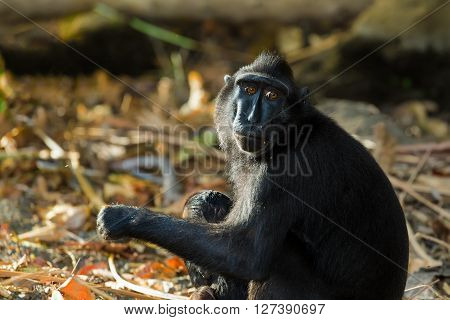 Celebes Crested Macaque, Sulawesi, Indonesia