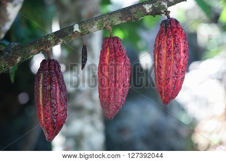 A detail view of hanging cocoa pods on a tree in Huayhuantillo village near Tingo Maria in Peru 2011
