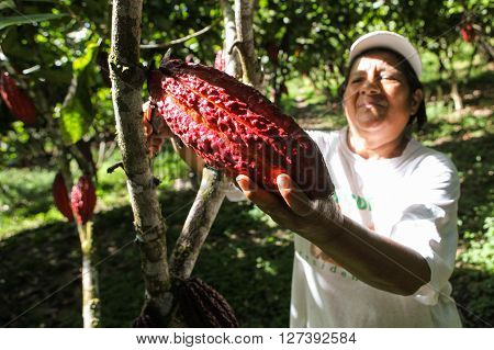 HUAYHUANTILLO PERU - JUNE 21: A view of people who collects cocoa pods in Huayhuantillo village near Tingo Maria in Peru 2011.