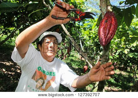 HUAYHUANTILLO PERU - JUNE 21: A view of people who collects cocoa pods in Huayhuantillo village near Tingo Maria in Peru 2011. ** Note: Shallow depth of field