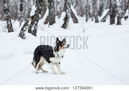 Tricolor border collie have fun in winter outdoors