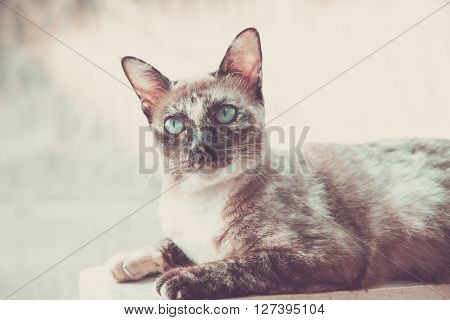 Beautiful Grey cat looking to wonder vintage background.